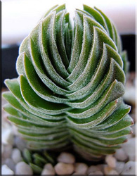 Крассула колончатая (Crassula columnaris)