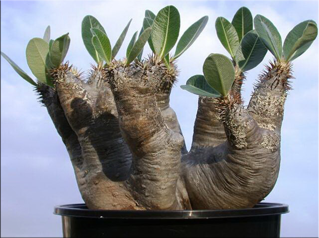 Пахиподиум густоцветковый (Pachypodium densiflorum)