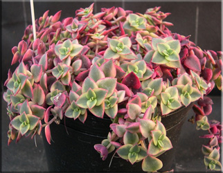 Крассула краевая, или окаймленная (Crassula marginalis)