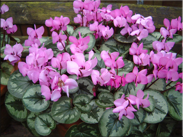 Цикламен косский (Cyclamen coum Mill)