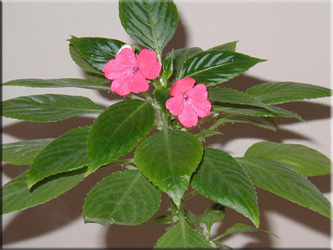 Бальзамин Петерса (Impatiens petersiana). Синоним: Impatiens Walleriana