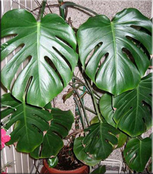Mонстера пробитая, или дырявая (Monstera pertusa)